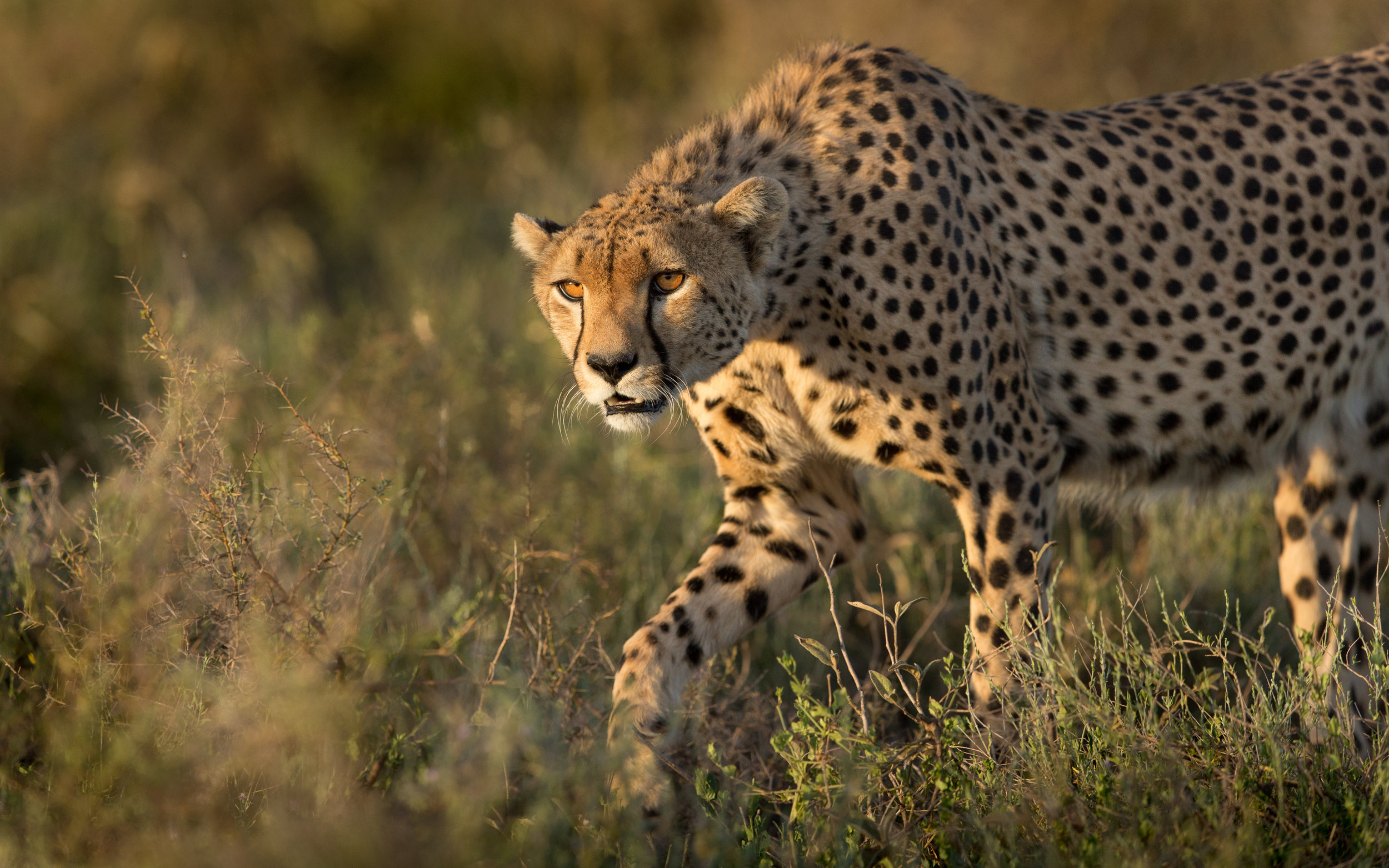 cheetah_square.jpg