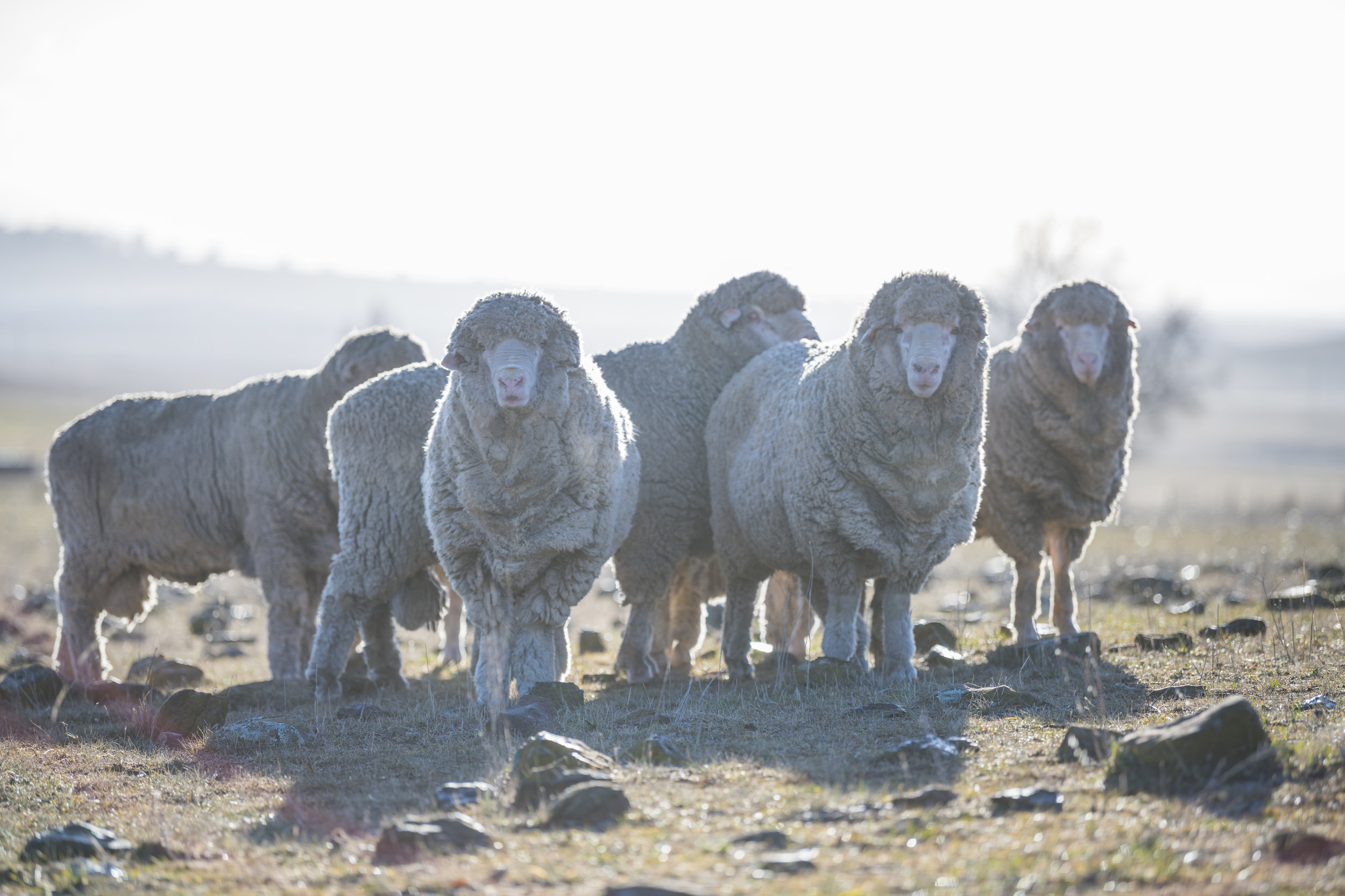 INCREASE FLEECE WEIGHT WITHOUT LOSING WOOL QUALITY
