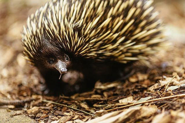 This is my first time being able to take a photo with an echidna, the zookeepers brought her into the sanctuary to say hello, but she was shy.  We put some food out onto the bark, but she didn't want to come out. I sat quietly and prepared my camera, composing for where she would be.  It took some time, and she came out but as soon as I pressed the shutter it scared her, so she covered her face.  Knowing I had about 1 minute to get his shot, I knew the camera shutter and focusing was the problem, even though it was so quiet, so I put the camera entirely in manual focus and focused by hand.  The camera I was using didn't have a flip screen, so I scrunched my body into a weird Escher drawing shape and tried to focus on her eye on f1.2 whilst she was moving. 📚 What I learnt from this: Being aware of your surroundings and try your best to understand the perspective of things around you. By pretending I was the echidna, I knew what was scaring her and how to act, move and behave to get the best result.