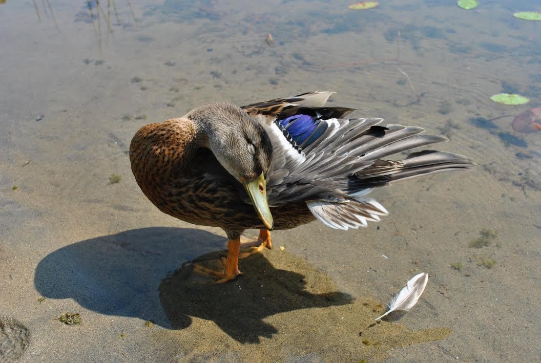 Duck.jpeg