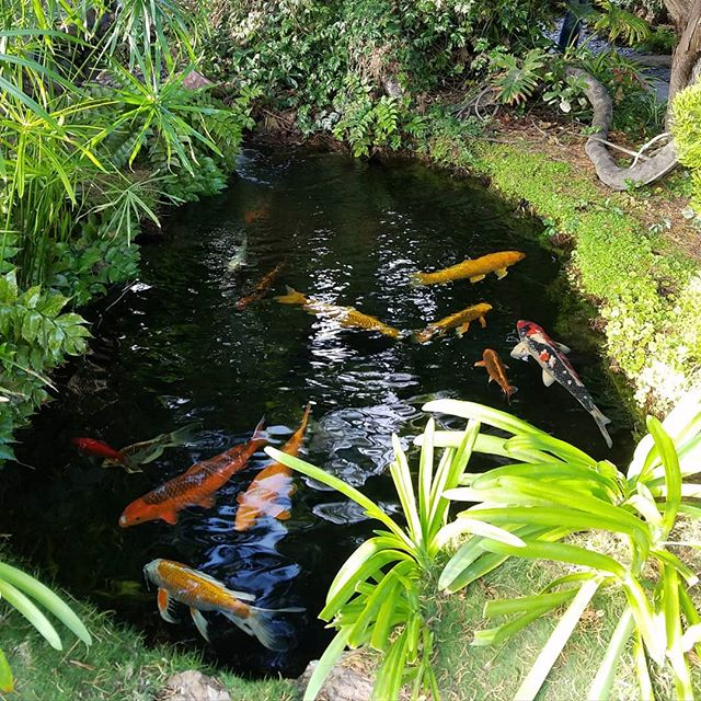 Your personal harmony (or lack of harmony) is impactful⁣  When I think of harmony, I think of this koi pond. The well-being of the water, fish, microorganisms, and whatever else make up this eco-system depend on one another. All elements need to flow and be free in their unique ways. If the water becomes stagnant, this affects the fish. If a fish gets unhealthy and goes unnoticed, then the water becomes toxic and the other fish are impacted. Every element contributes to the harmony and well-being of the other. Not one thing is exempt.⁣ Similarly, as creative leaders, we have the responsibility to create harmony within ourselves because any inner discord is toxic. Its impact on ourselves and our human ecosystem is HUGE. The discord stresses us out which can eventually create dis-ease. It makes the work we're passionate about feel like a chore. It exhausts us. It makes us doubt. We lack the clarity to make good decisions. We can't access clear inner guidance. We also create discord in relationships we care about. ⁣  Due to our society's and cultural influences, many creative leaders have come to believe that action at the expense of being is the best way to create the biggest difference. But if you acknowledge that you are a part of a bigger ecosystem, you can amplify your impact by also cultivating a more harmonious way of being. ⁣Because who and how you're being is valuable.  There are many ways to do this and I recommend finding what resonates most with you. I enjoy partnering with my clients to develop inner-harmony through the Unconditional Receiving framework I created. If you're curious to learn more, send me a DM. I look forward to connecting.⁣ --  What's one thing you will choose to do today to nurture your inner well-being? [Photo taken in October 2018. Self Realization Temple Meditation Gardens, Encinitas, CA]⁣ ⁣ ⁣
