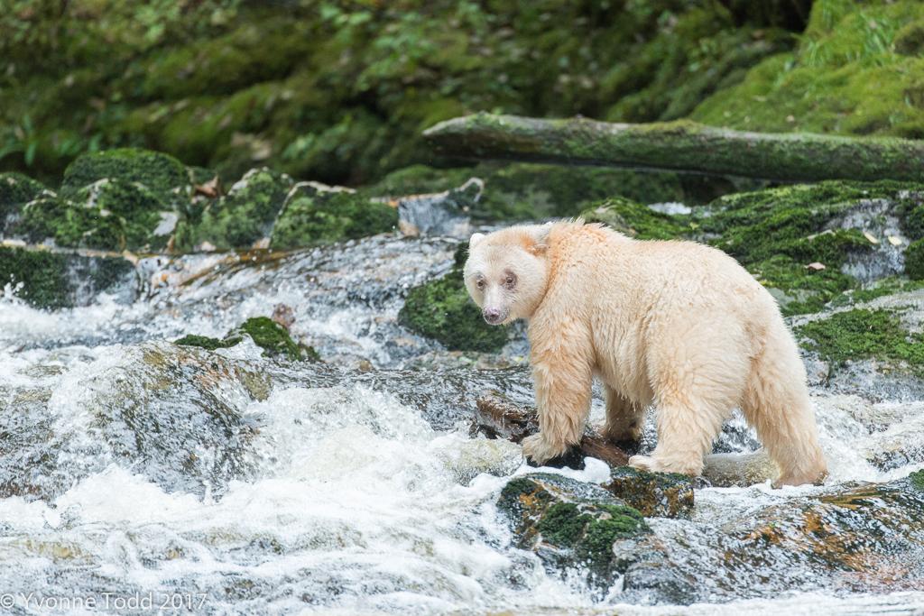 The spirit bear,  Mooksgm'ol