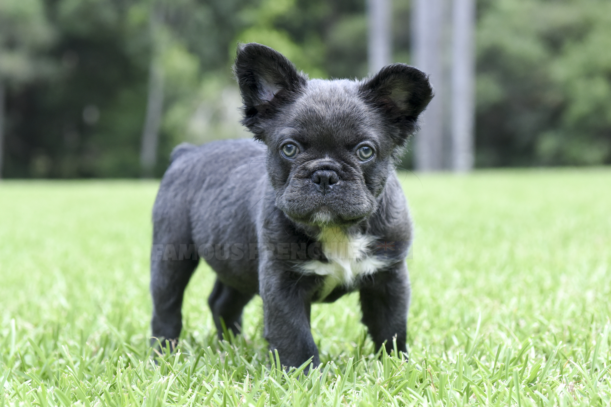 Sub Adults Or Retired Adults Famous Frenchies Australia