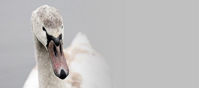 swan winter.jpg