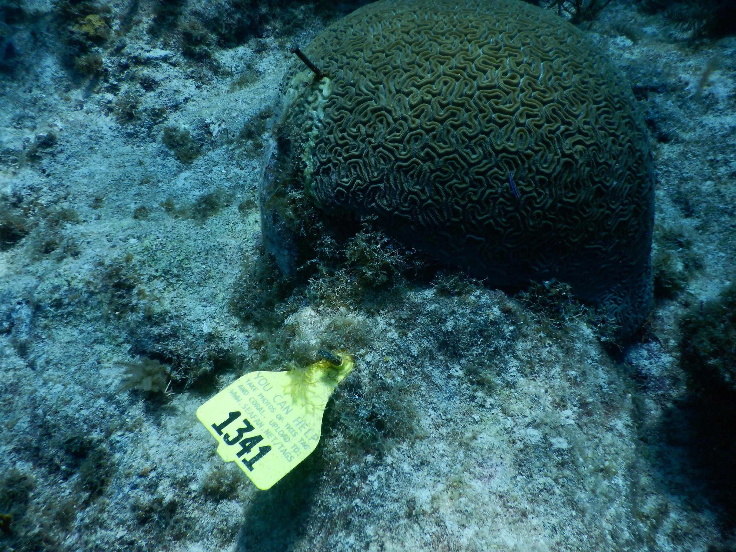 Coral_brain_tag_1341-2.JPG