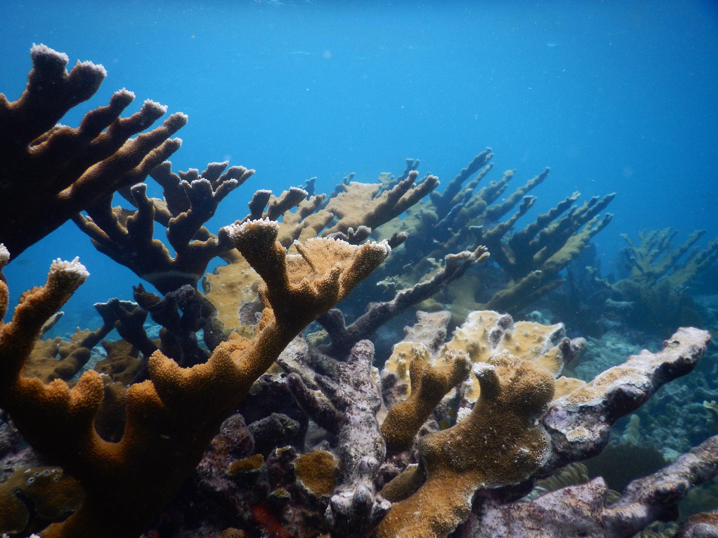 Elkhorn coral field.JPG