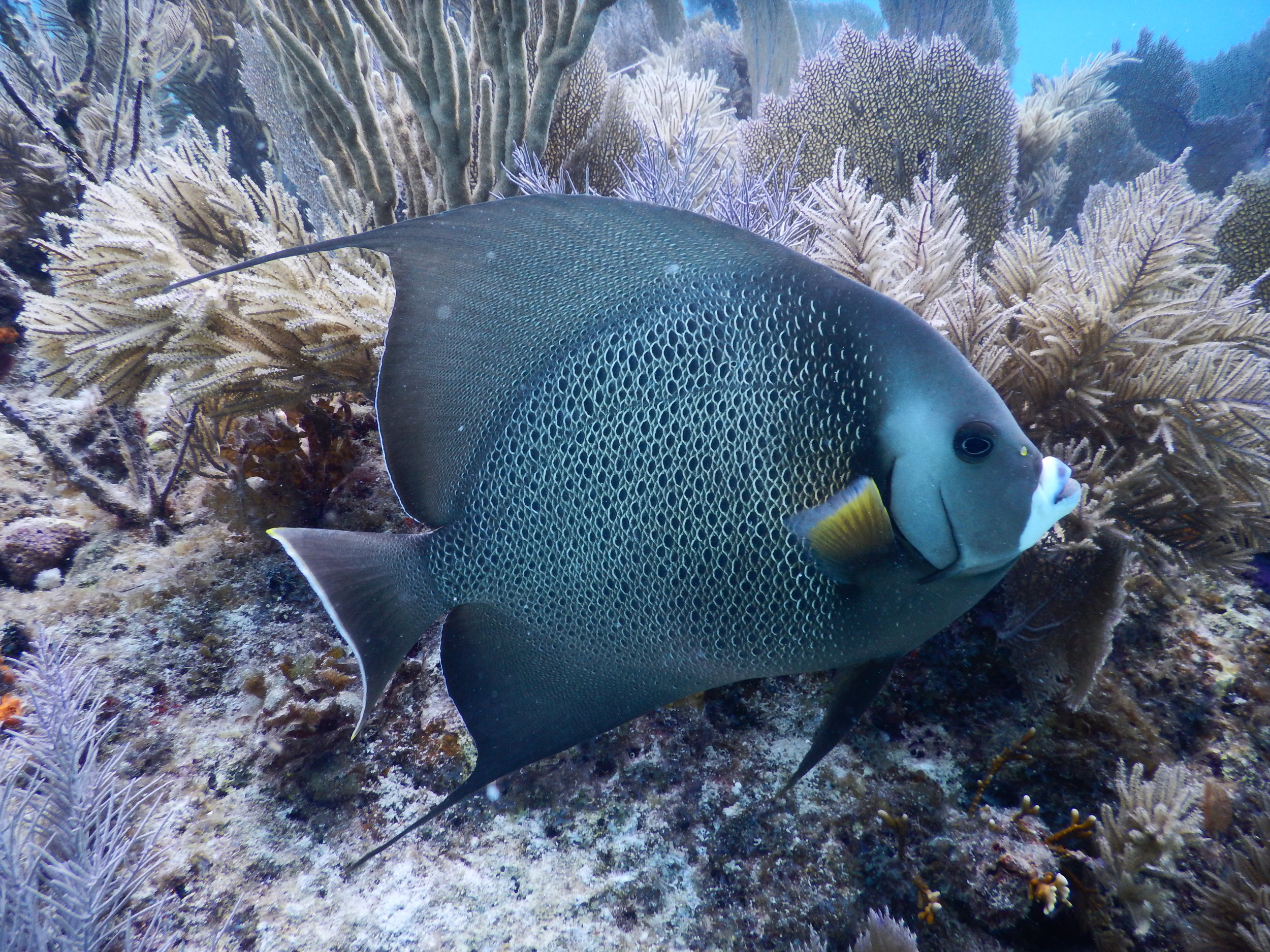 Gray_Angelfish_side.JPG