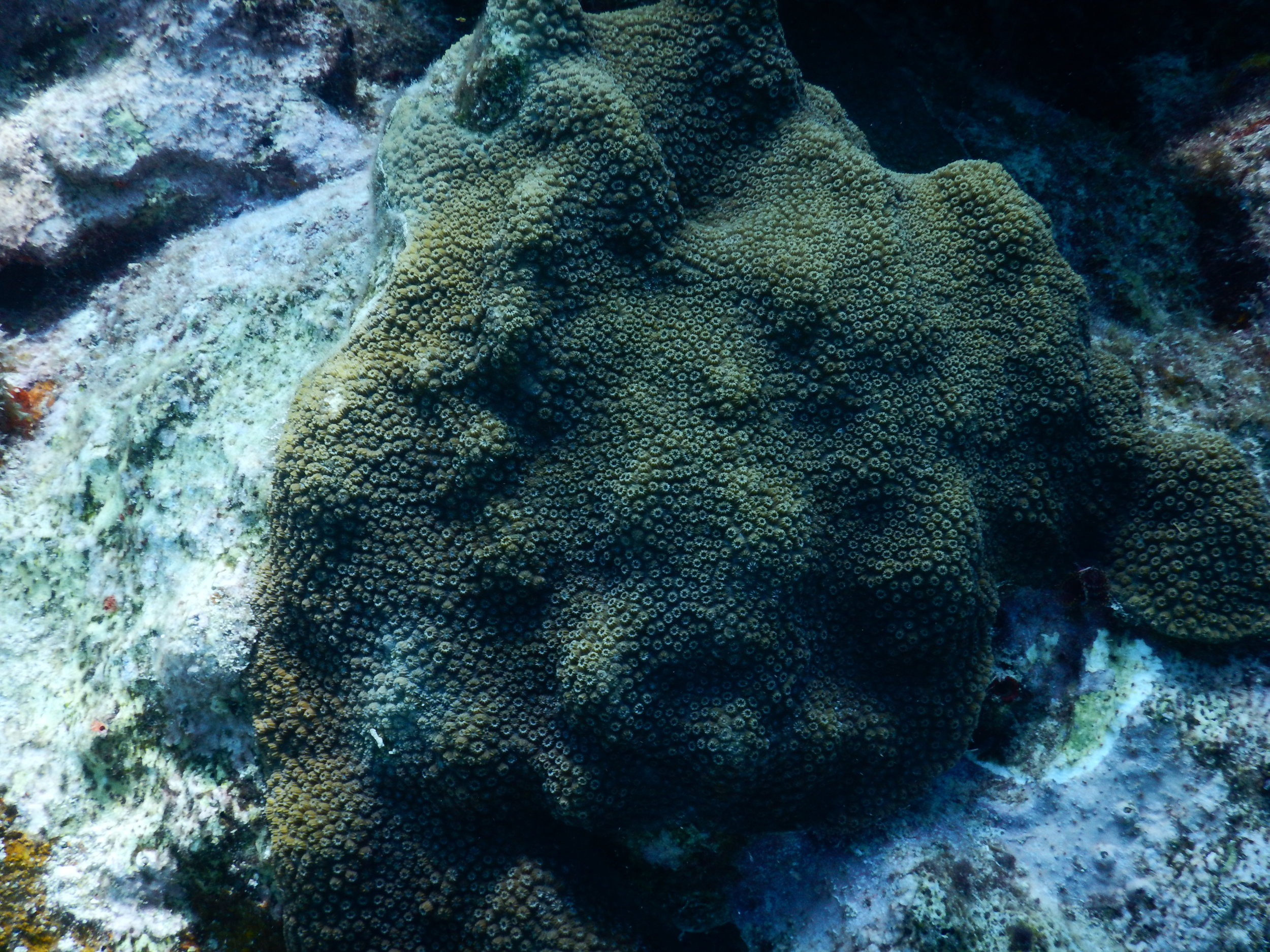 Elliptical star coral.JPG