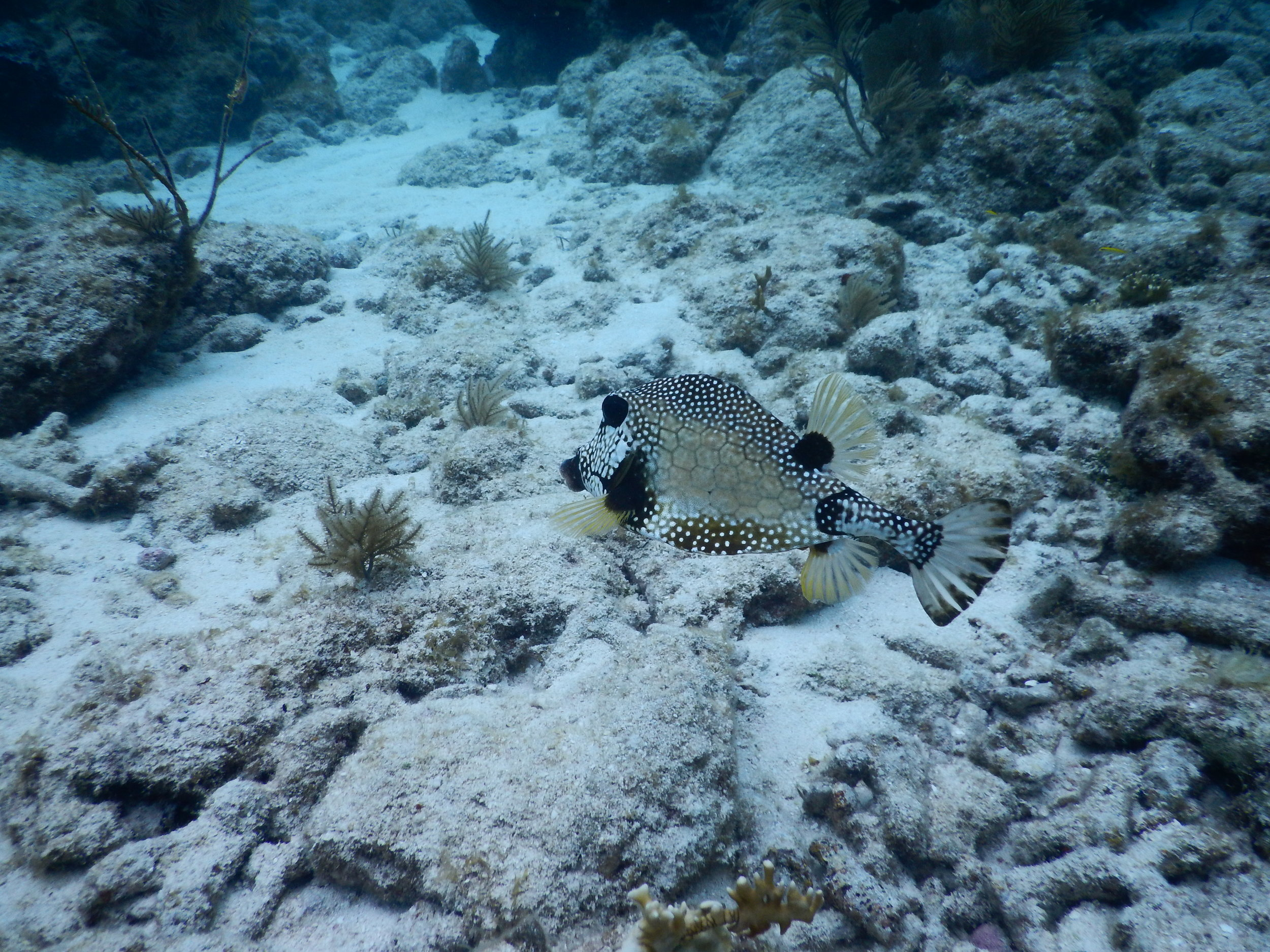 Smooth Trunkfish.JPG