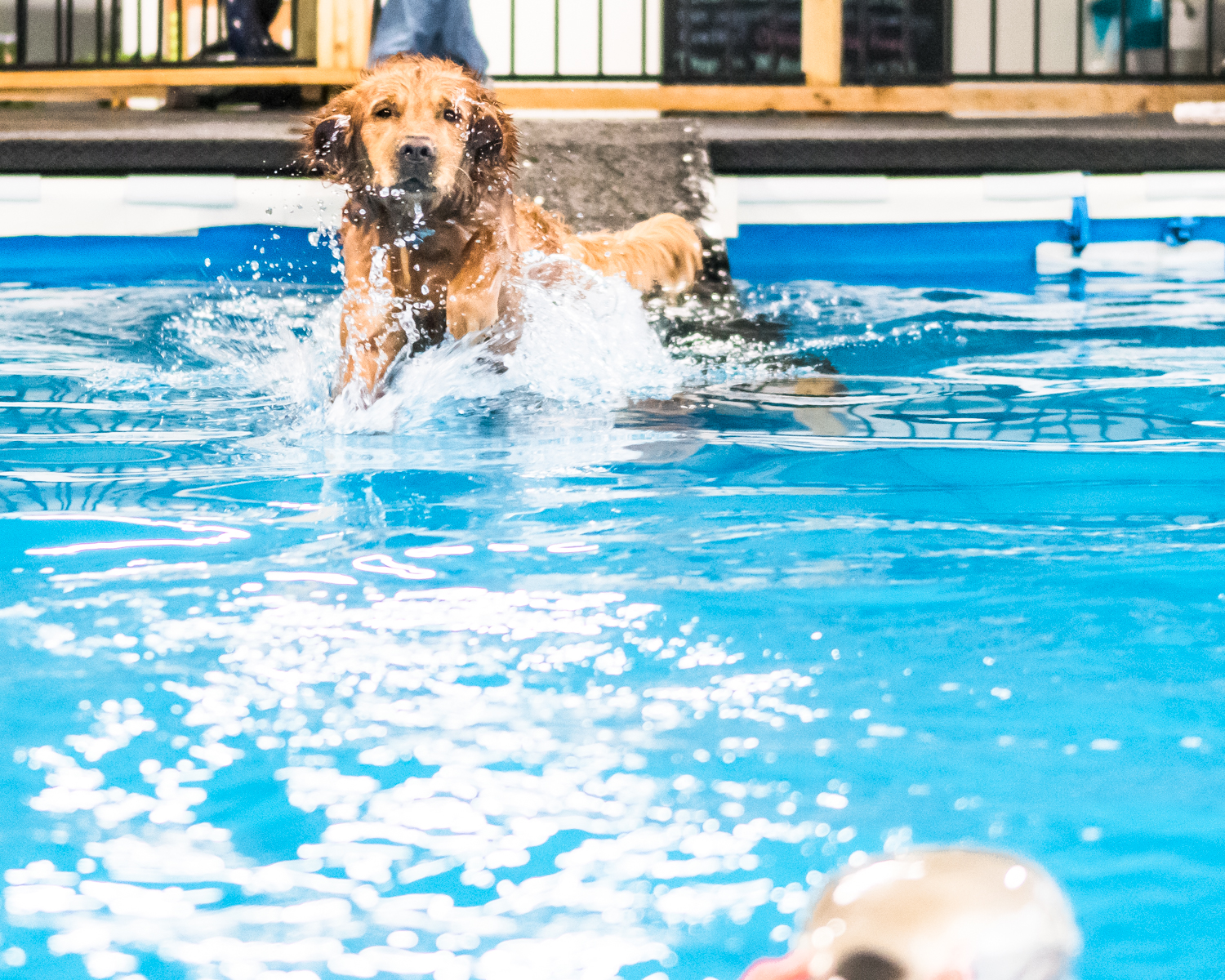 Gunner the golden retriever leaps into the water after his training duck as he and his owners, Ken and Pat Snyder, Gurnee, train him in hunting retrieval techniques while burning energy through swim exercise at Club Aqua Paws on Lathrop Ave in Downtown Racine.