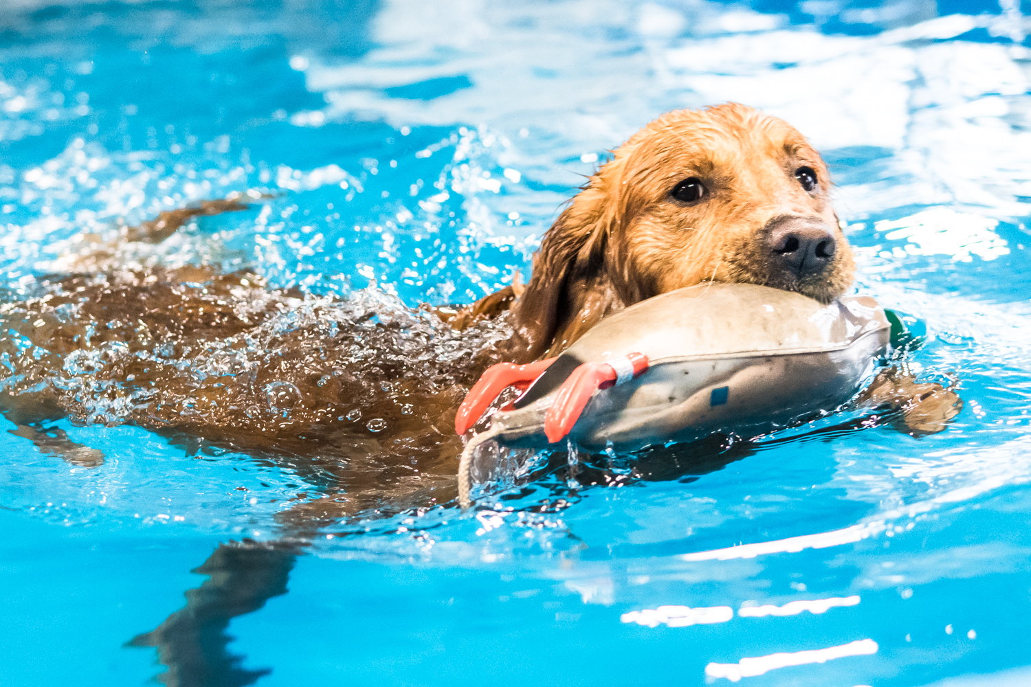 Gunner the golden retriever swims with his training duck with ease at Club Aqua Paws on Lathrop Ave in Downtown Racine Thursday afternoon.