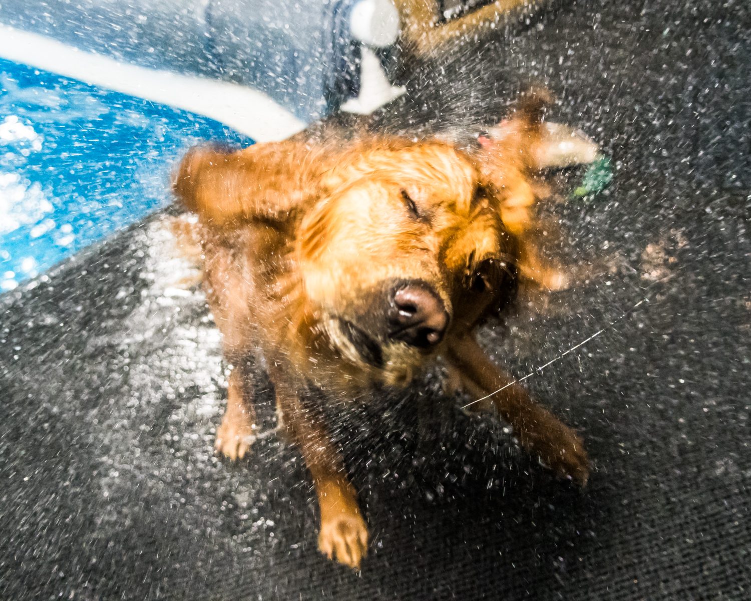 Gunner the golden retriever shakes off the excess water retained by his fur from the Club Aqua Paws pool Thursday afternoon while training hunting retrieval techniques.