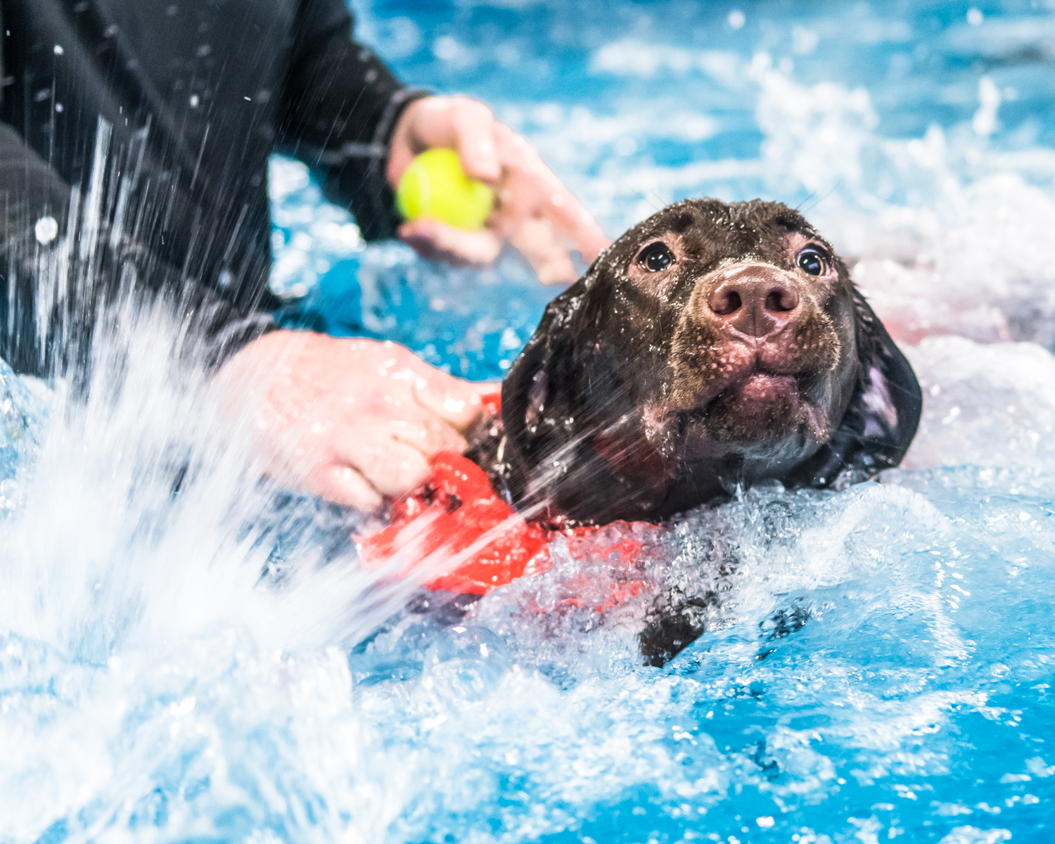 Six-month-old Chocolate Lab Tilly frantically paddles as she attempts to learn to swim at Club Aqua Paws Thursday afternoon in Downtown Racine.