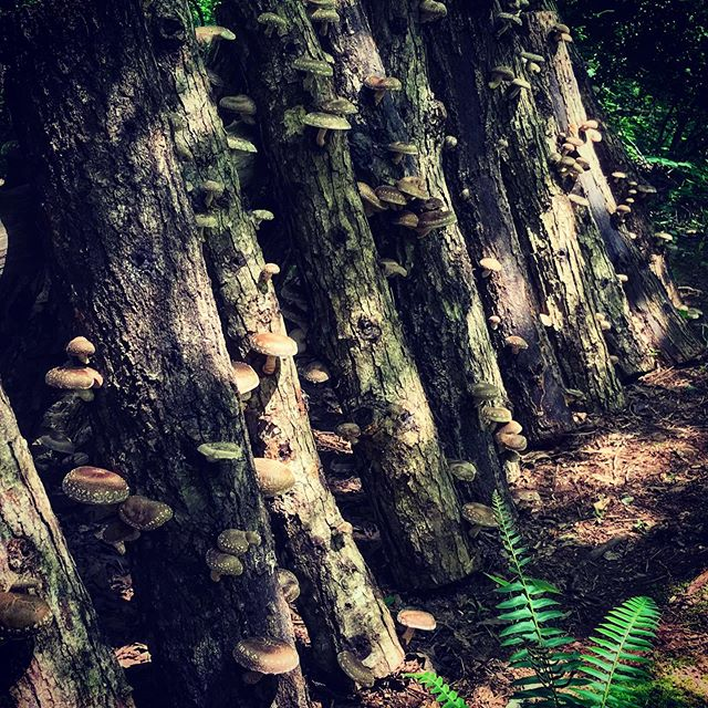 ..deep in the dappled shade with the shiitake mushrooms @southernwildfoodforest #wildcrafted