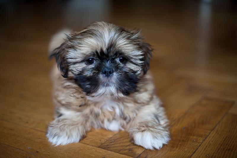 Lhasa Apso puppy IMG_5866.jpg