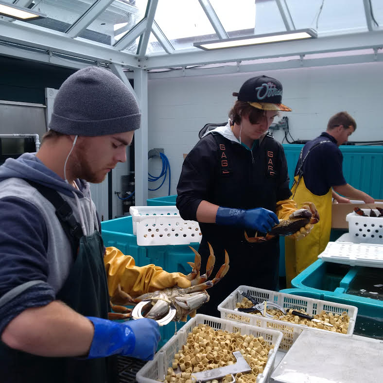 Jute and Nick claw banding the crab. Kelvan in the background receiving and grading lobster.