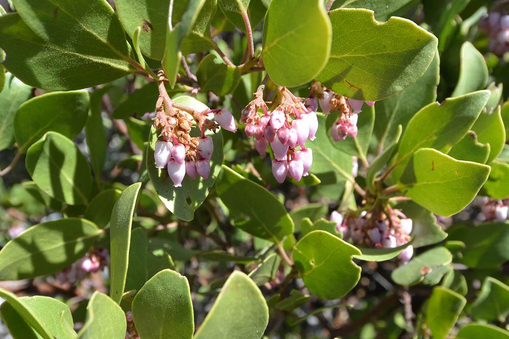 Mexican manzanita in bloom
