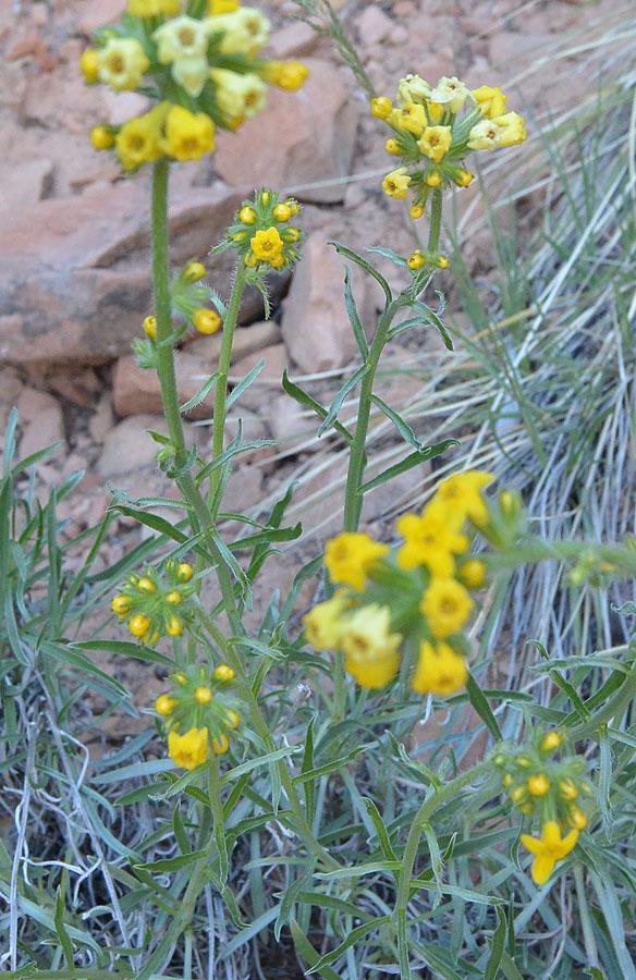 Golden Cryptantha aka Cryptantha confertiflora