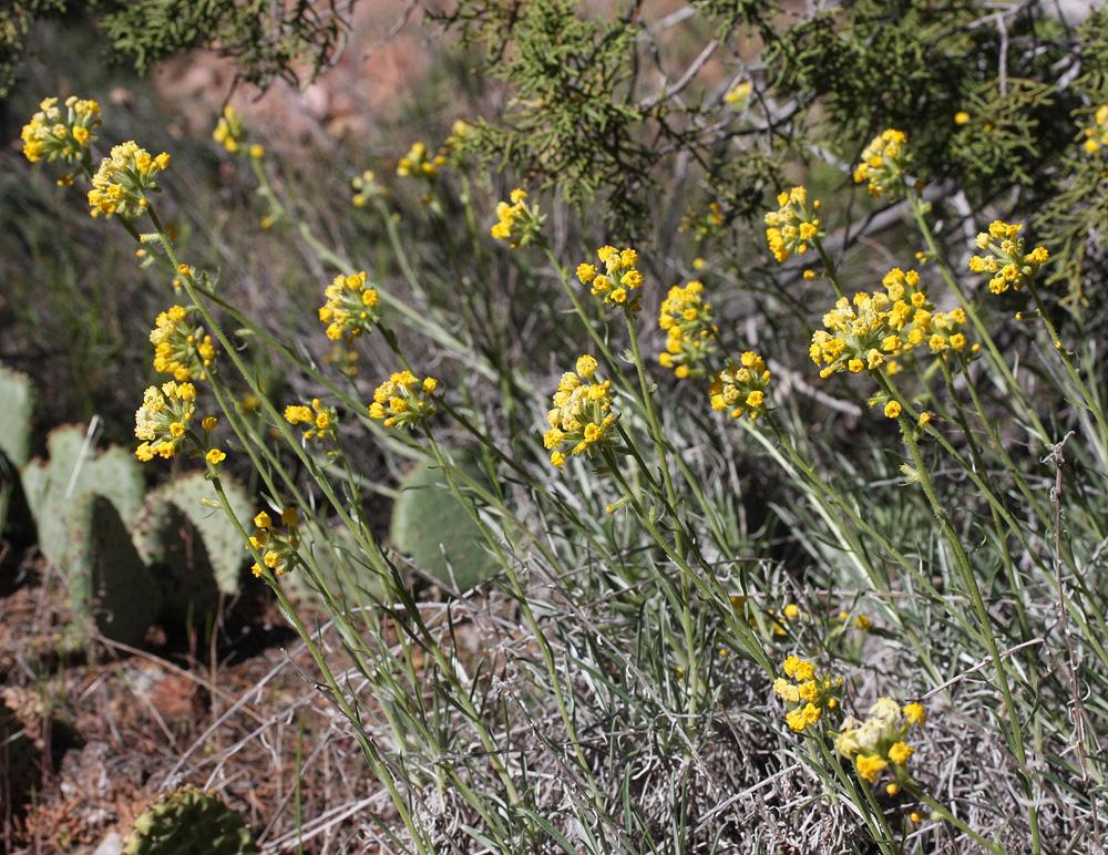 Golden Cryptantha – Cryptantha confertiflora
