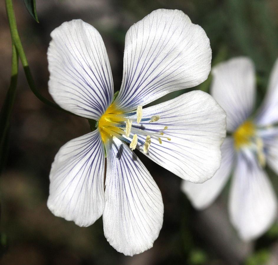 Blue Flax – Linum perenne