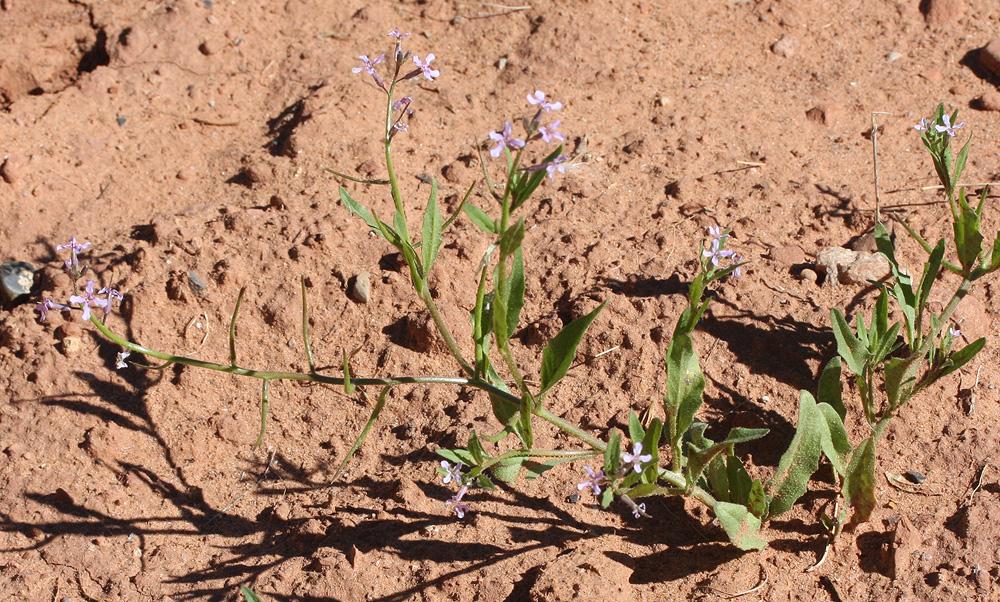 Chorispora tenella – Purple Mustard – invasive from Eurasia.