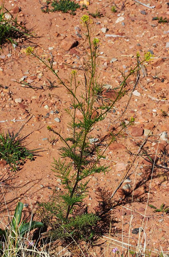 Descurainia sophia – Flix weed or Tansy mustard