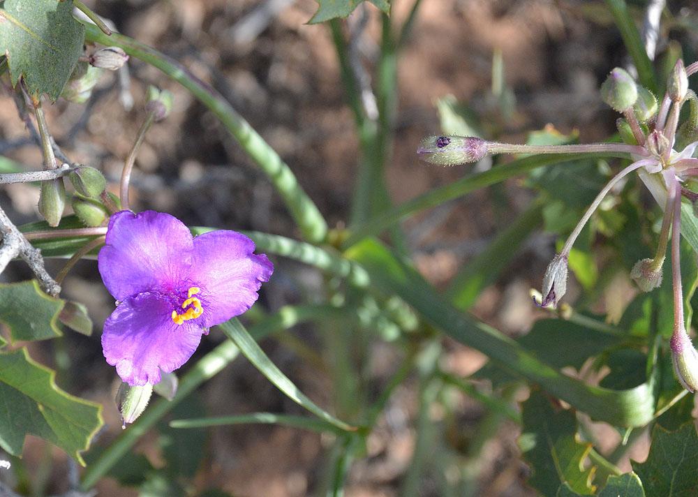Spiderwort – Tradescantia occidentalis