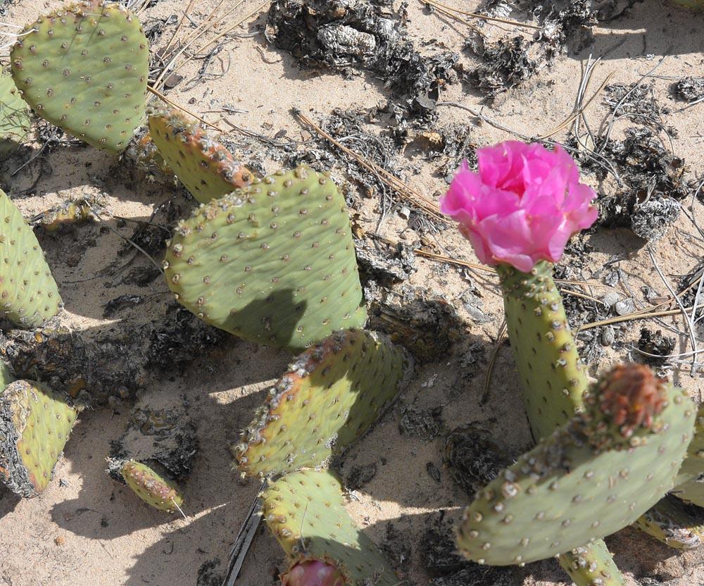 Utah Beavertail Cactus – Opuntia basilaris aurea – blooms can be pink or magenta.