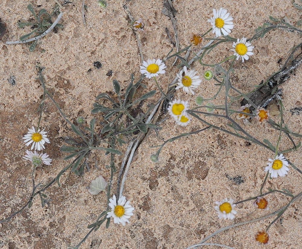 Some kinda daisy. Not the best pic to ID from, but I am thinking this is the Canaan Daisy – Erigeron canaani
