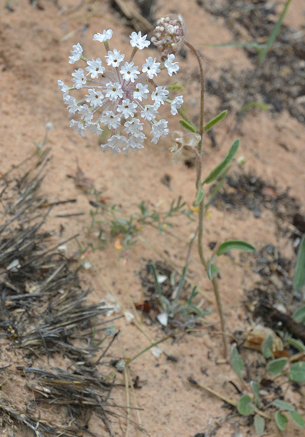 Another of my favorites, the Snowball, or Fragrant Sand Verbana – Abronia fragrans – a member of the Four O'Clock Family!
