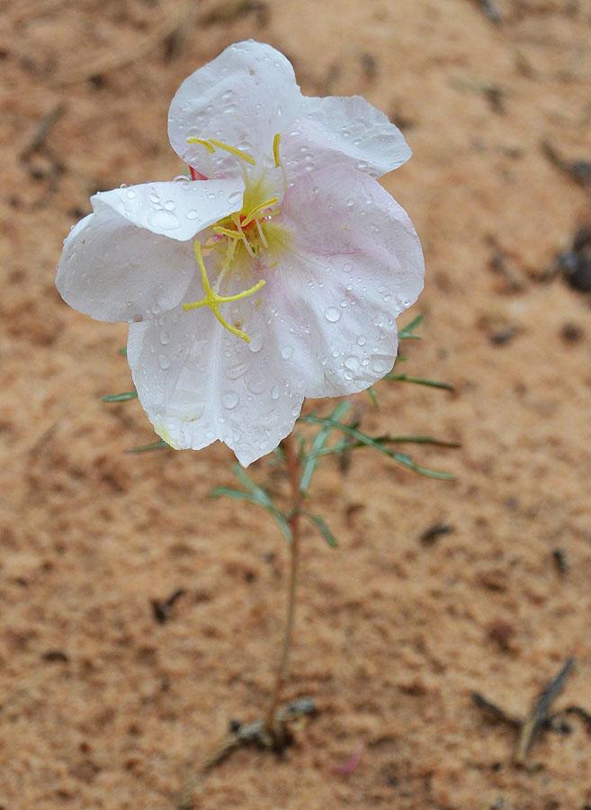 Pale Evening Primrose – Oenothera pallida