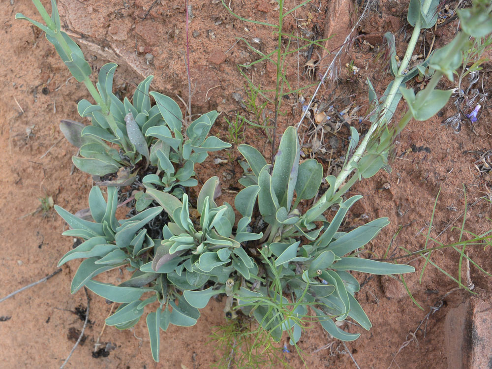 Leaves at the bottom of the previous Penstemon