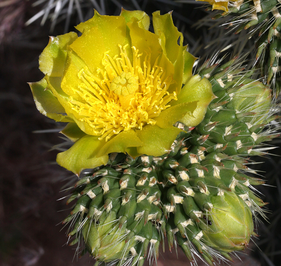 Whipple Cholla bloom, Opuntia whipplei – Right Fork Trailhead