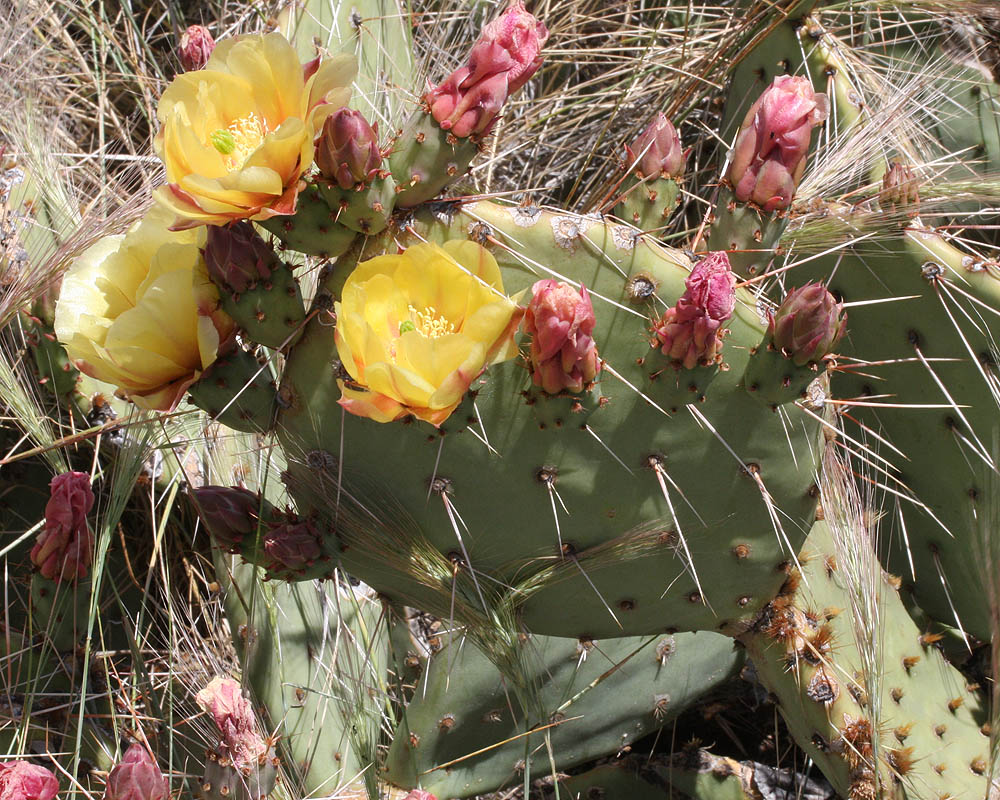 The Engelmann Prickly-Pear Opuntia engelmannii – the plant