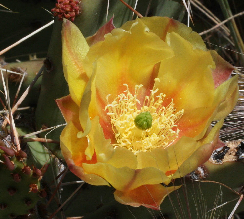 The Engelmann Prickly-Pear Opuntia engelmannii – the bloom