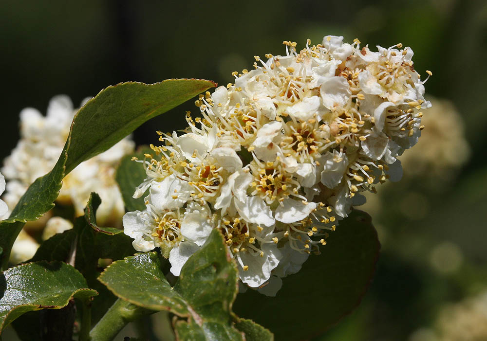 Western Chokecherry, Prunus virginiana melanocarpa – the bloom.