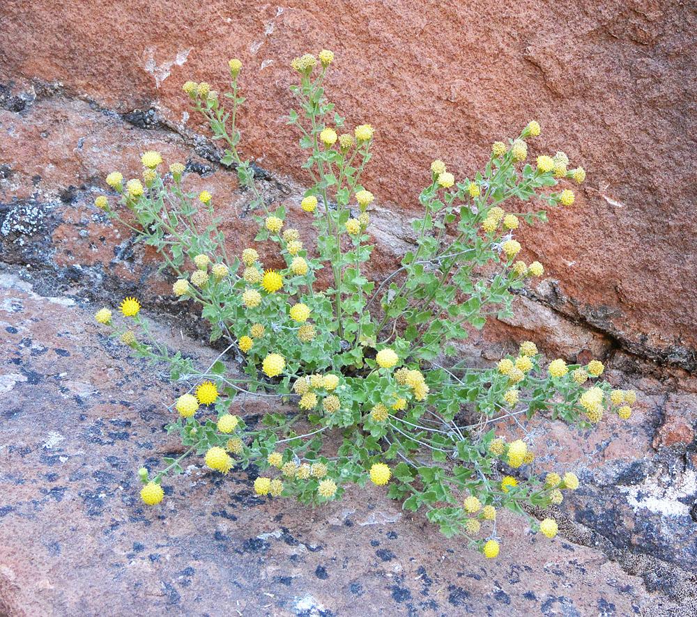 Springdale rockdaisy – Perityle tenella – on the East Rim Trail