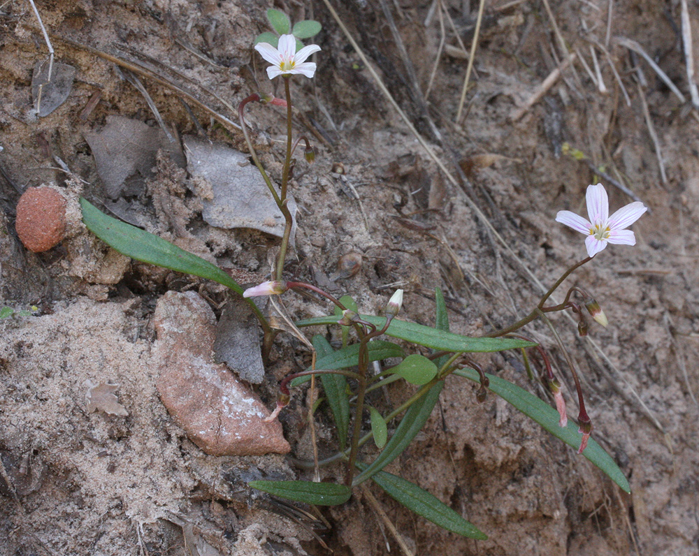 Spring Beauty Plants