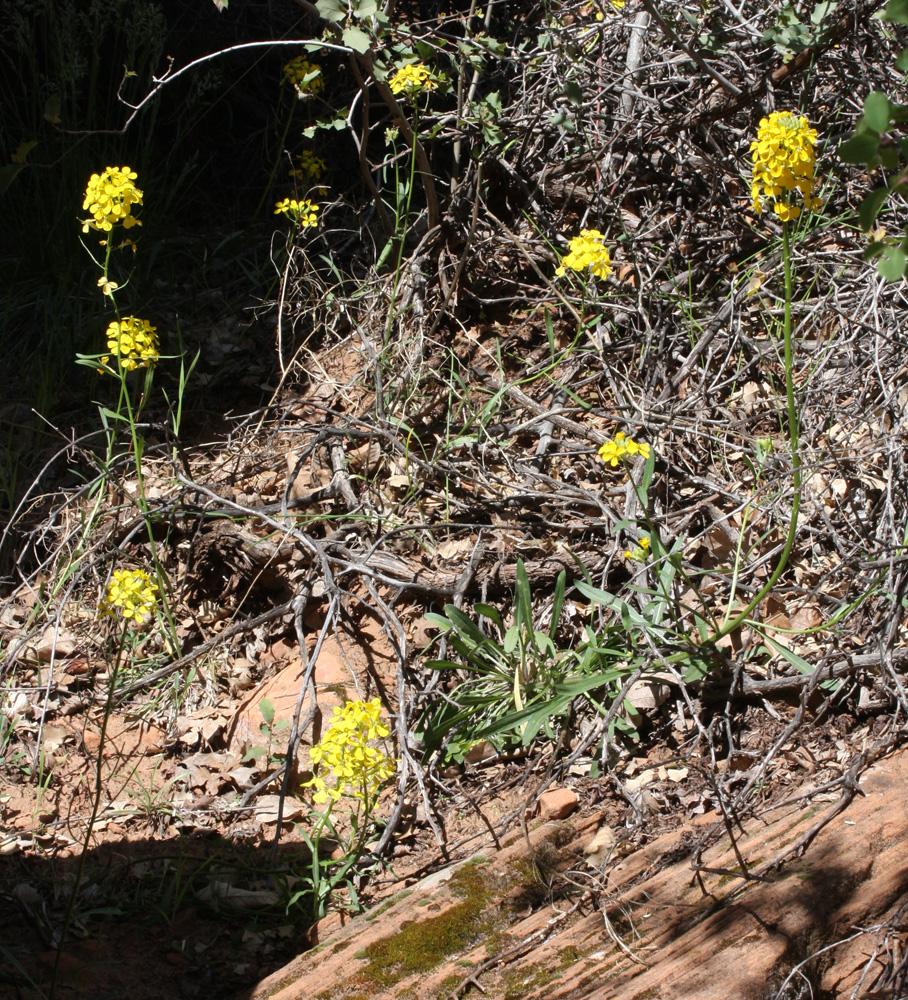 Western Wallflower Plants