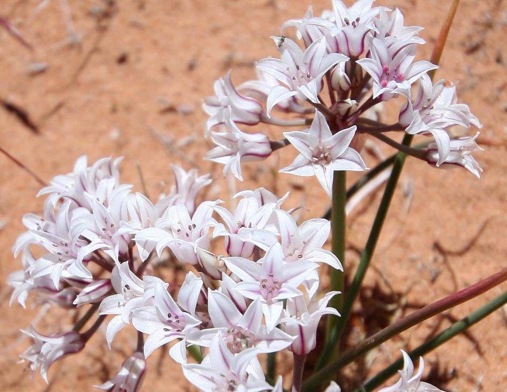 Today's Mystery Flower. (Glen Canyon)