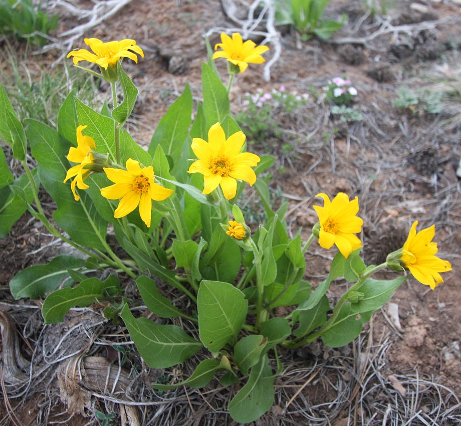 Mules Ears (Wyethia arizonica) Asteraceae (Sunflower Family) (Zion)