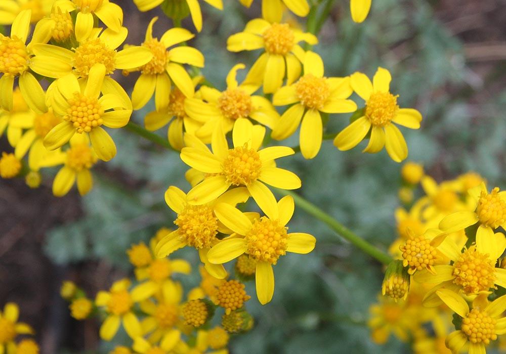 Uinta Groundsel, closeup of flowers. (Zion)