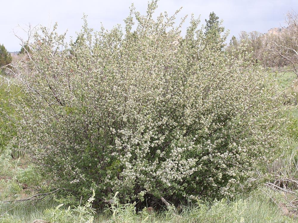 Utah Serviceberry Amelanchier utahensis koehne Rose Family (Rosacaceae) (Zion)