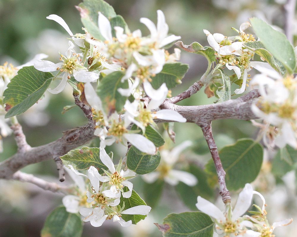 Utah Serviceberry - closeup of blossoms, branches, leaves. (Zion)