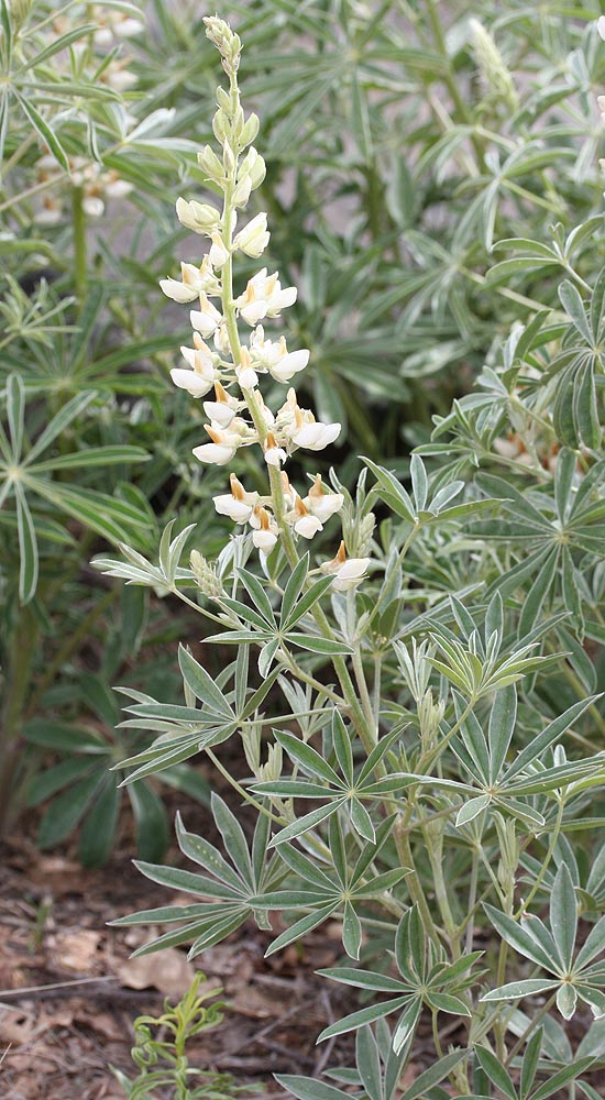Lots of this up there, and elsewhere in Zion this year. Obviously a Lupine, but which one? Shows with blue and with white flowers, this patch being almost entirely white. On the ZNP wildflower list is: Broad-leaved Lupine Lupinus latifolius Legume Family (Zion)