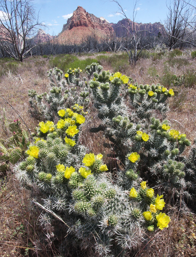 Whipple Cholla, Opuntia whipplei - Right Fork Trailhead
