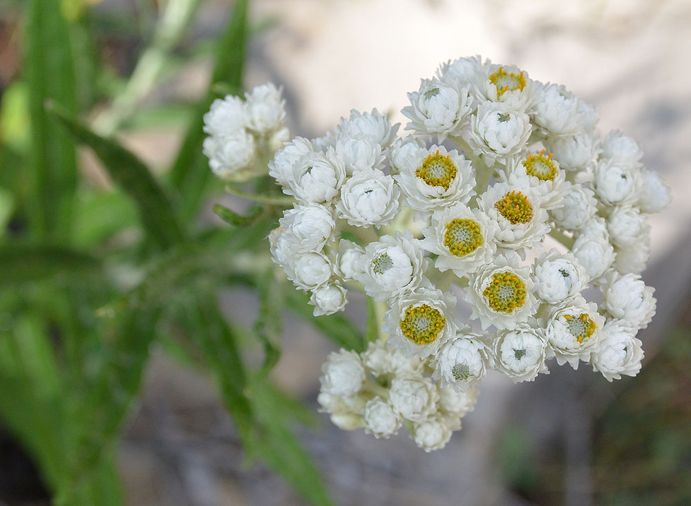 Pearly Everlasting, on the hike up