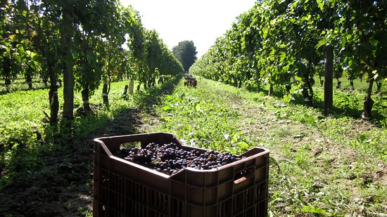 Harvest at Domaine des Huards in the Cour-Cheverny (Loire Valley).