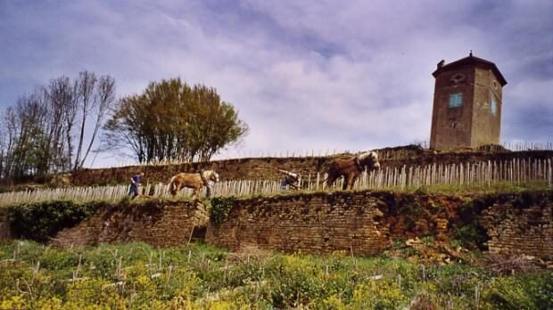 The Tissot domaine. Horses hard at work in the vineyard!