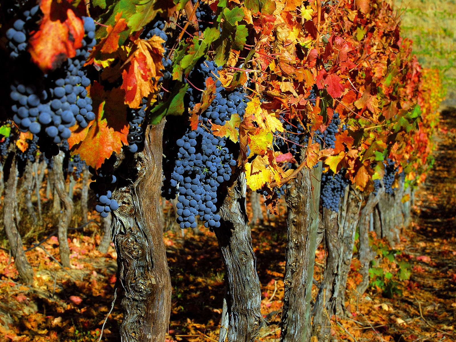 grapes_trees_crop_autumn_clusters_leaves_fruit_5852_1600x1200.jpg